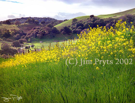 Wild mustard on Henry Road (c) Jim Pryts, 2002 All Rights Reserved