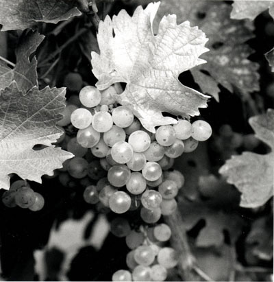 Napa Valley Wine Grapes Stock Photography